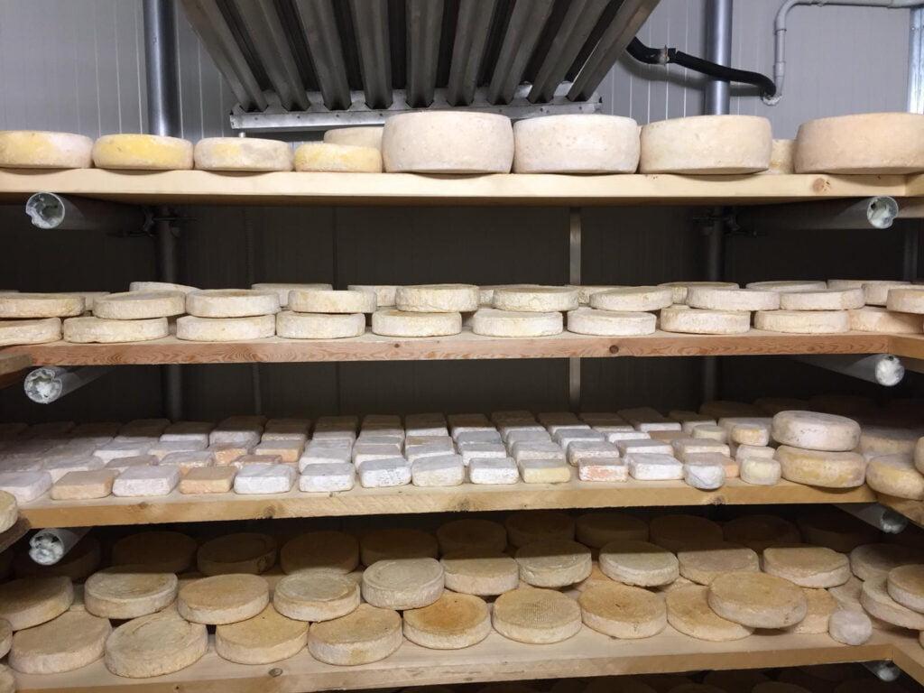 Vari formaggi durante la stagionatura in cella frigorifera