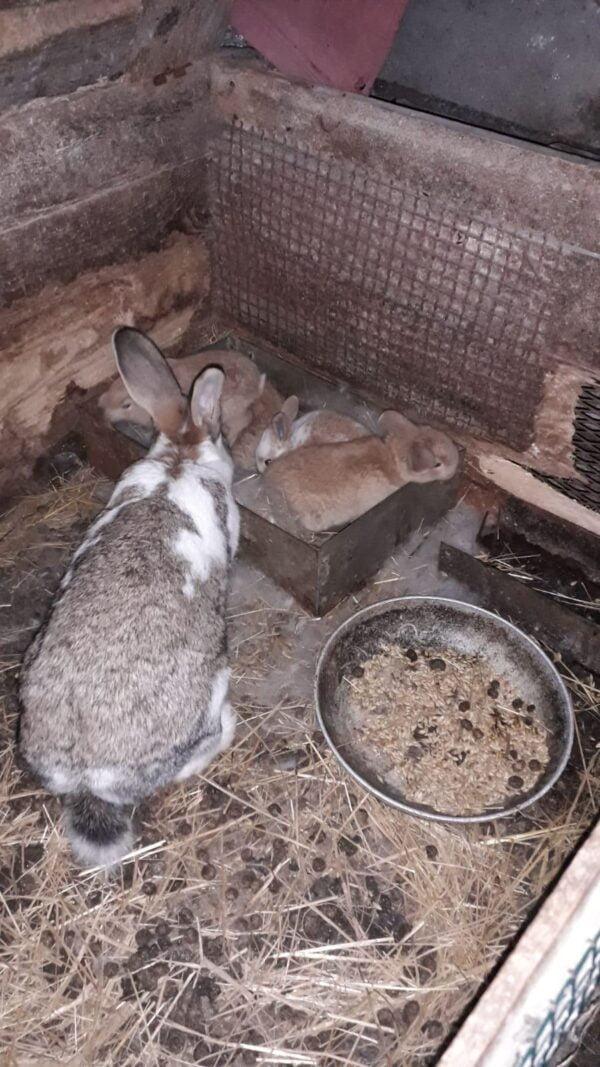 Conigli allevati in gabbia